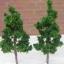 ต้นไม้ สูง 5 ซ.ม. 10 ต้น thumbnail 1