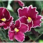 แอฟริกันไวโอเล็ต African Violets